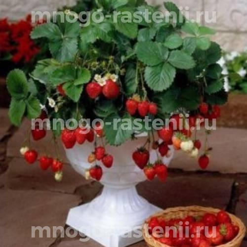 Земляника садовая Остара