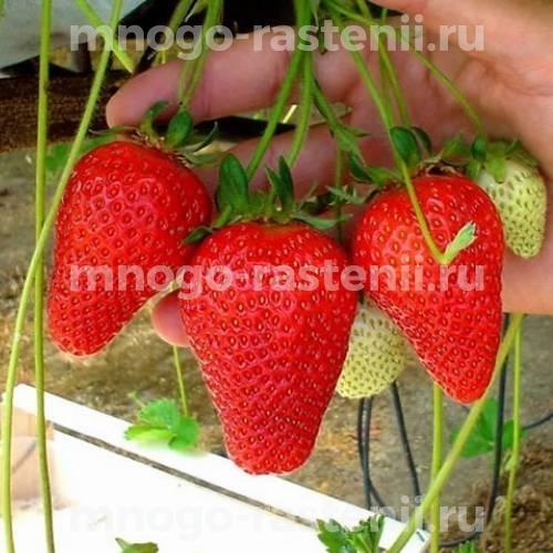 Земляника садовая Роксана