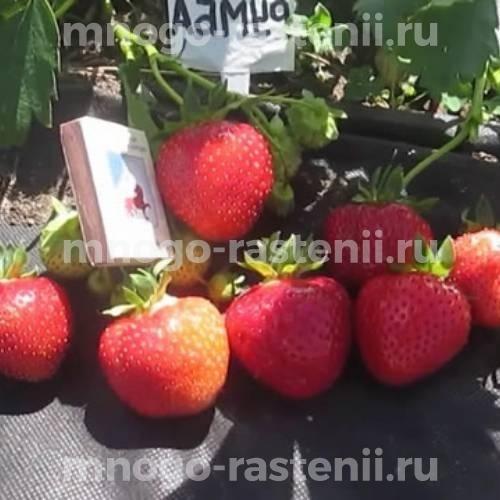 Земляника садовая Румба