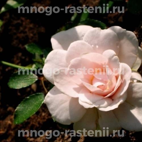 Роза Джентл Кавер