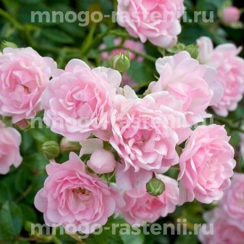 Роза Зе Фейри