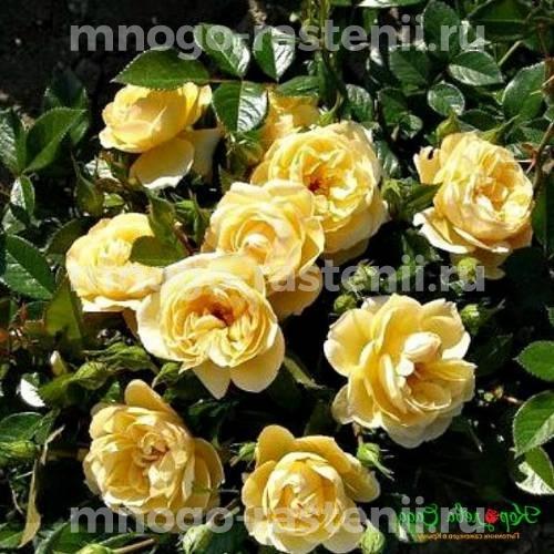 Роза Зонеширм