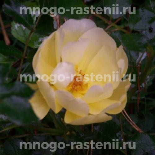 Роза Лаймесголд
