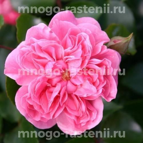 Роза Пинк свани