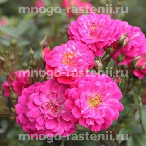Роза Пурпл рейн