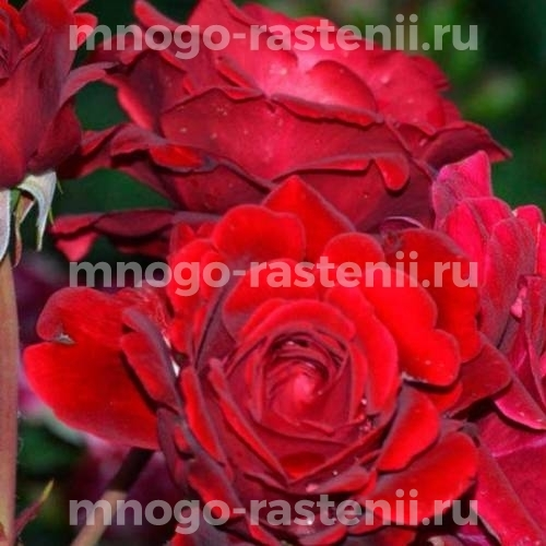 Роза Ред Вельвет