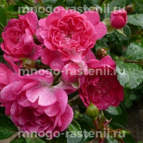 Роза Роди
