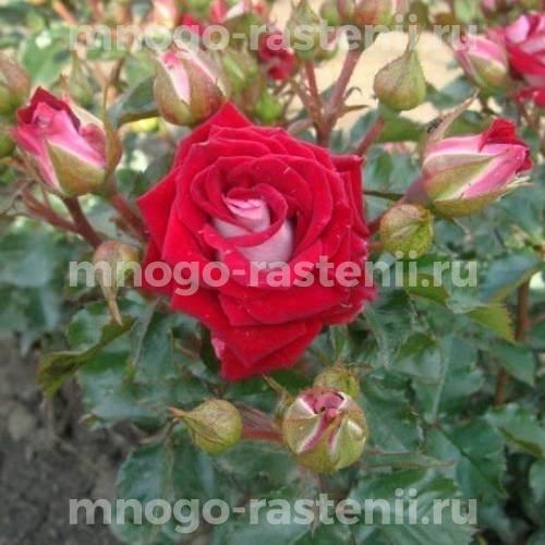 Роза Руби Стар