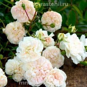 Роза Свани