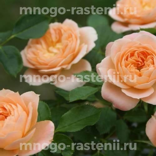 Роза Свит Дрим