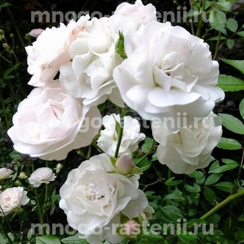 Роза Сиа Фом