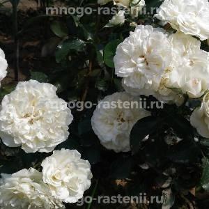 Роза Блэнк Мейдиланд