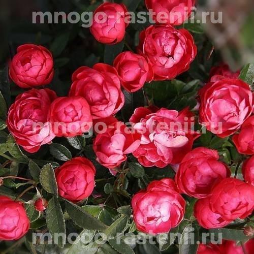 Роза Морсдаг