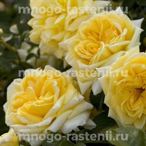 Роза Надя Мейдиланд