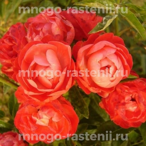 Роза Оранж Морсдаг