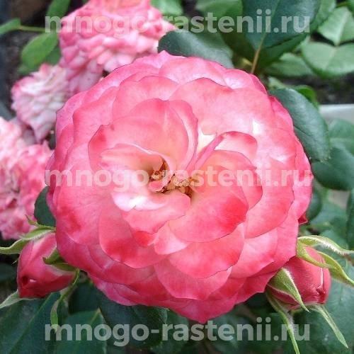 Роза Пат де Велюр