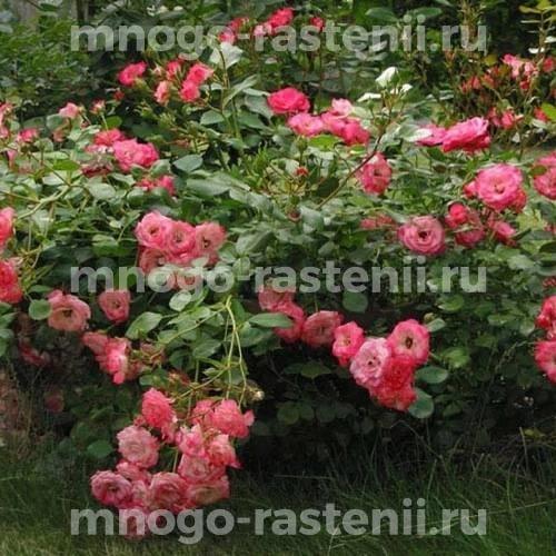 Роза Руж Мейяндекор