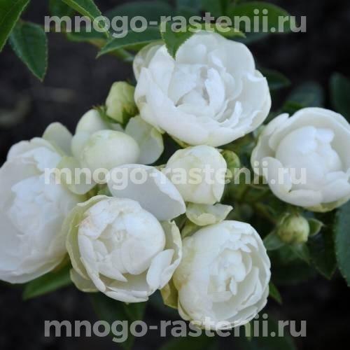 Роза Уайт Морсдаг
