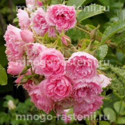 Роза Пинк Грутендорст