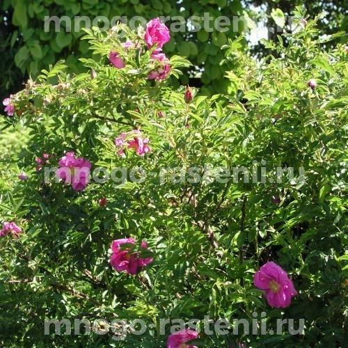 Роза Руготида