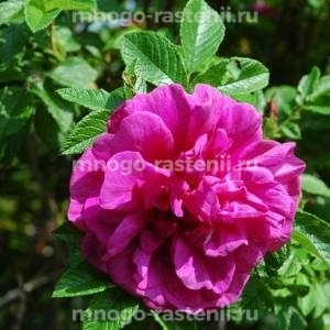 Роза Моей Хаммарберг