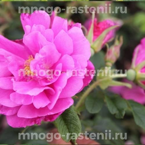 Роза Цверг