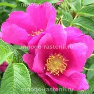 Роза Рубра