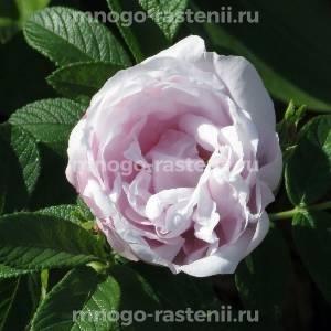 Роза Шнеекоп