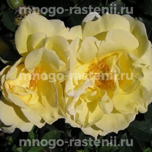 Роза Гелбе Дагмар Хаструп