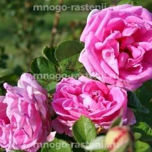 Роза Конрад Фердинанд Мейер