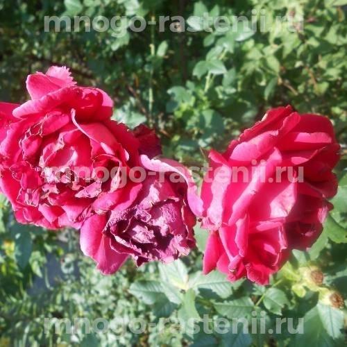 Роза Парфюм де Хай