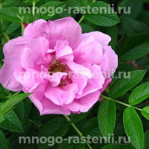 Роза Пинк Роадраннер