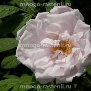 Роза Поларис