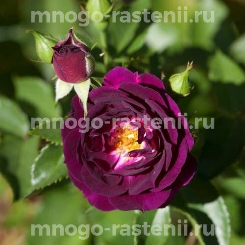 Роза Пурпле Павемэнт