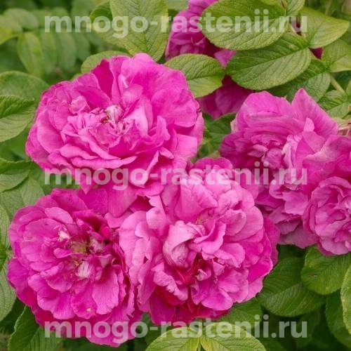 Роза Пурпле Роадраннер