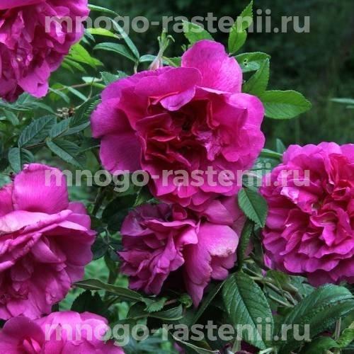 Роза Розерай де Лей