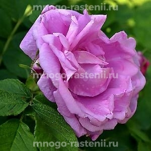 Роза Романтик Роадраннер