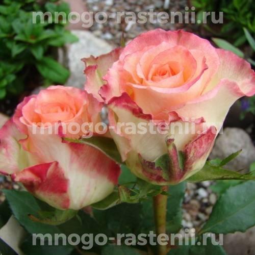 Роза чайно-гибридная Дуэт на штамбе