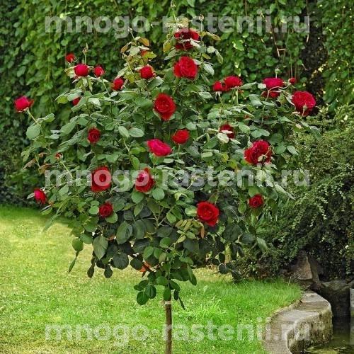 Роза чайно-гибридная Барбара на штамбе