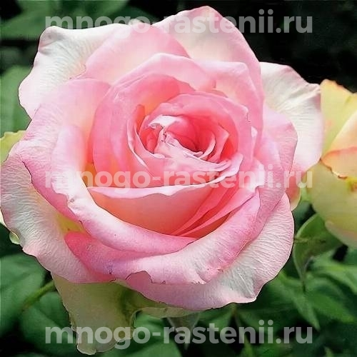 Роза чайно-гибридная Дольче Вита на штамбе