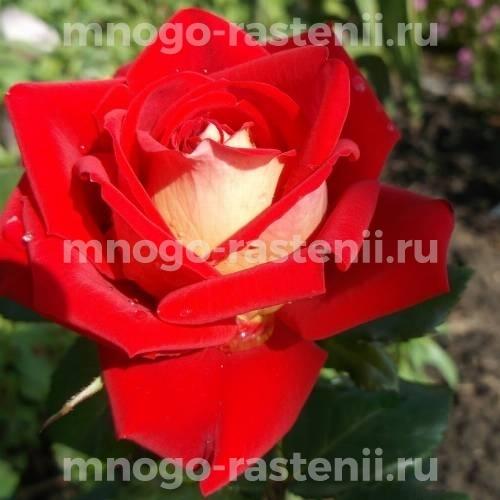 Роза чайно-гибридная Аллилуйя на штамбе
