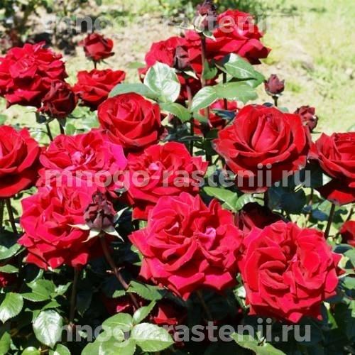 Роза чайно-гибридная Ингрид Бергман на штамбе