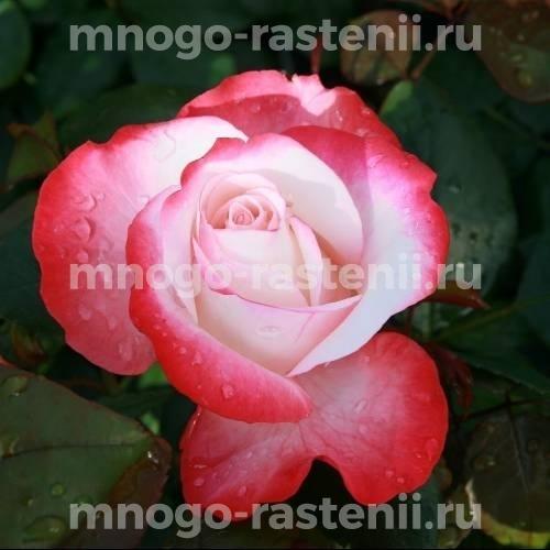 Роза чайно-гибридная Ностальжи на штамбе
