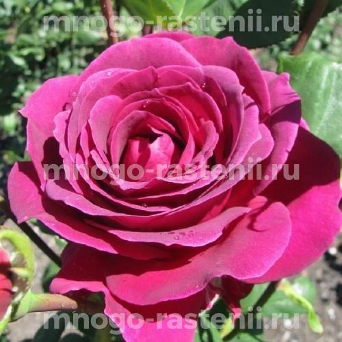 Роза чайно-гибридная Квин оф Бермуда на штамбе
