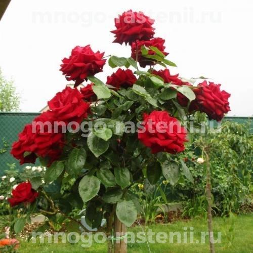 Роза чайно-гибридная Бургунд на штамбе