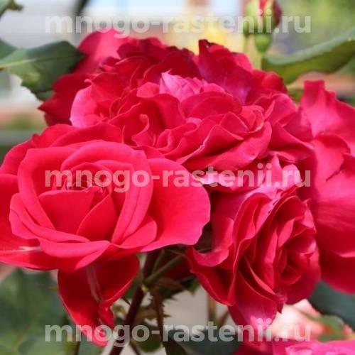 Роза Руж Мейлов на штамбе