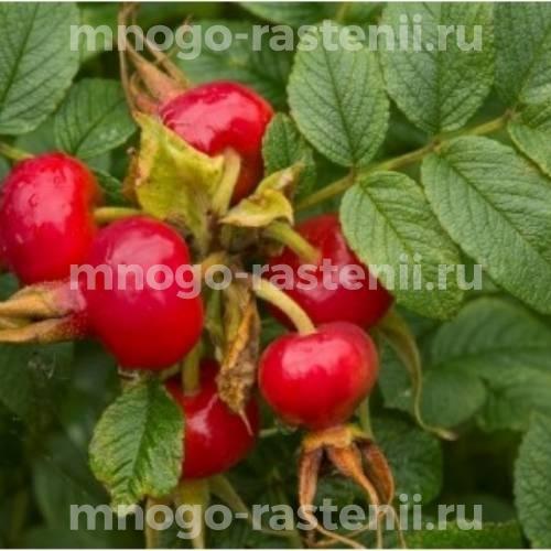 Шиповник плодовый Юбилейный