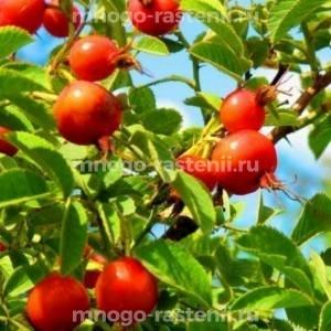 Шиповник плодовый Яблочный