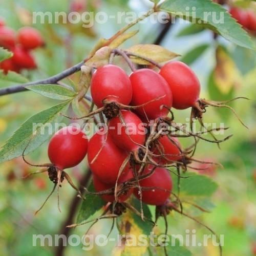 Шиповник плодовый Багряный