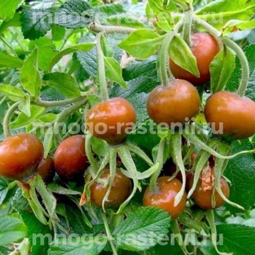 Шиповник плодовый Веселый